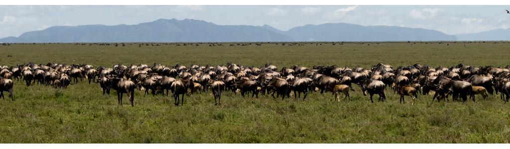 wildebeest.png
